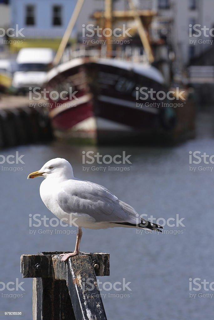 Devon Seagull royalty-free stock photo