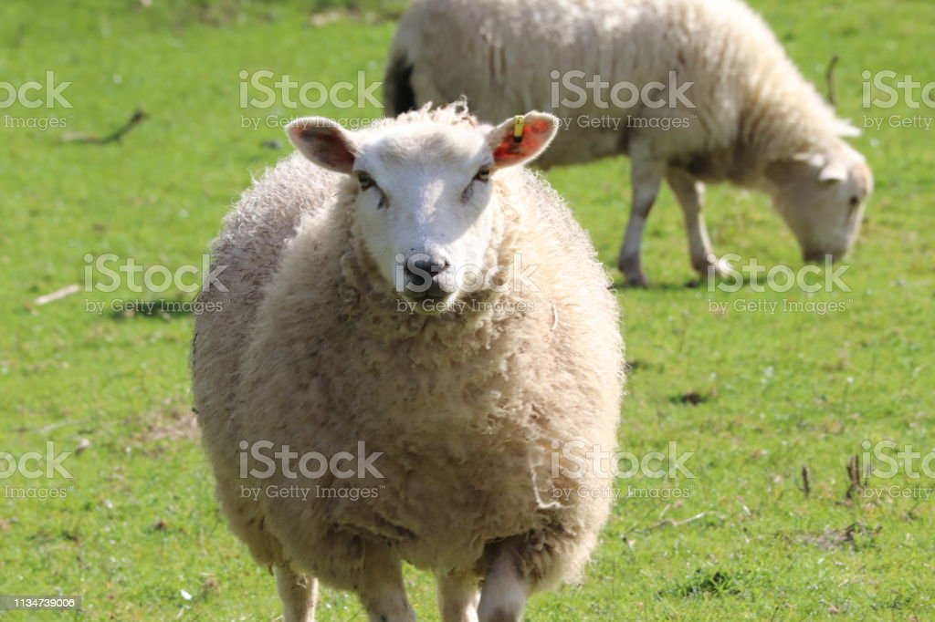 Devon sheep in a field - Royalty-free Agricultural Field Stock Photo