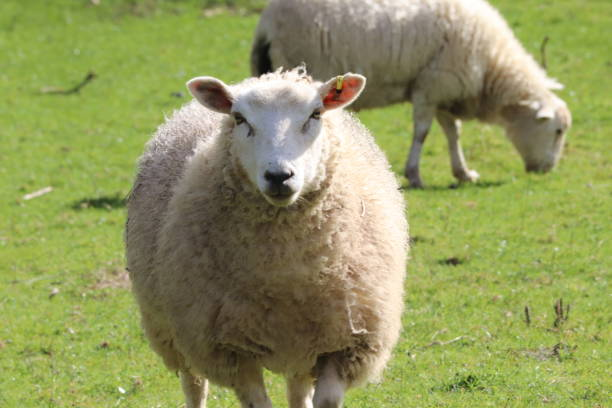 Devon sheep in a field stock photo
