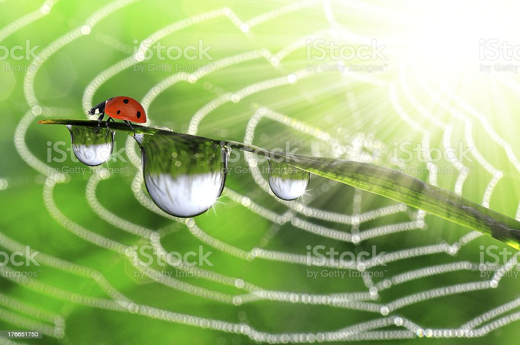 dew and ladybird royalty-free stock photo