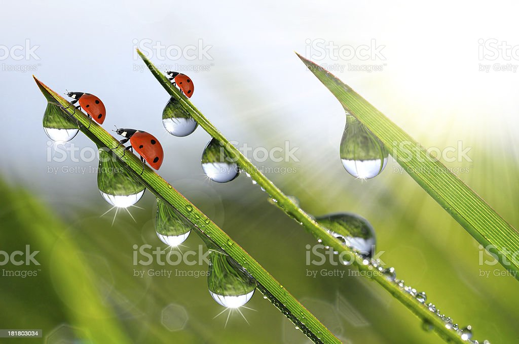 dew and ladybirds royalty-free stock photo