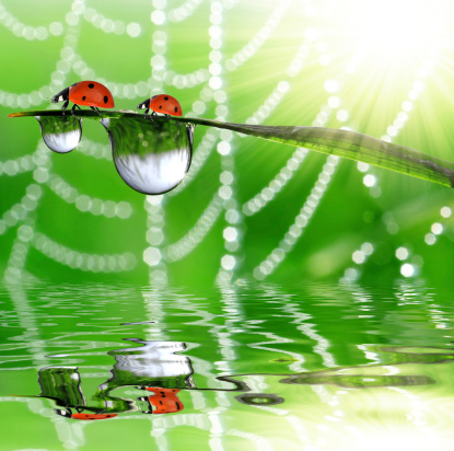 dew and ladybugs