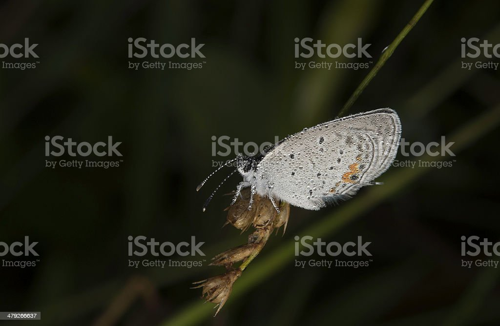 Dew covered Karner blue butterfly stock photo