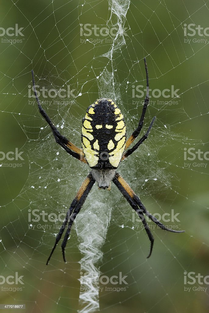 Dew Covered Yellow Garden Spider Stock Photo Download Image Now