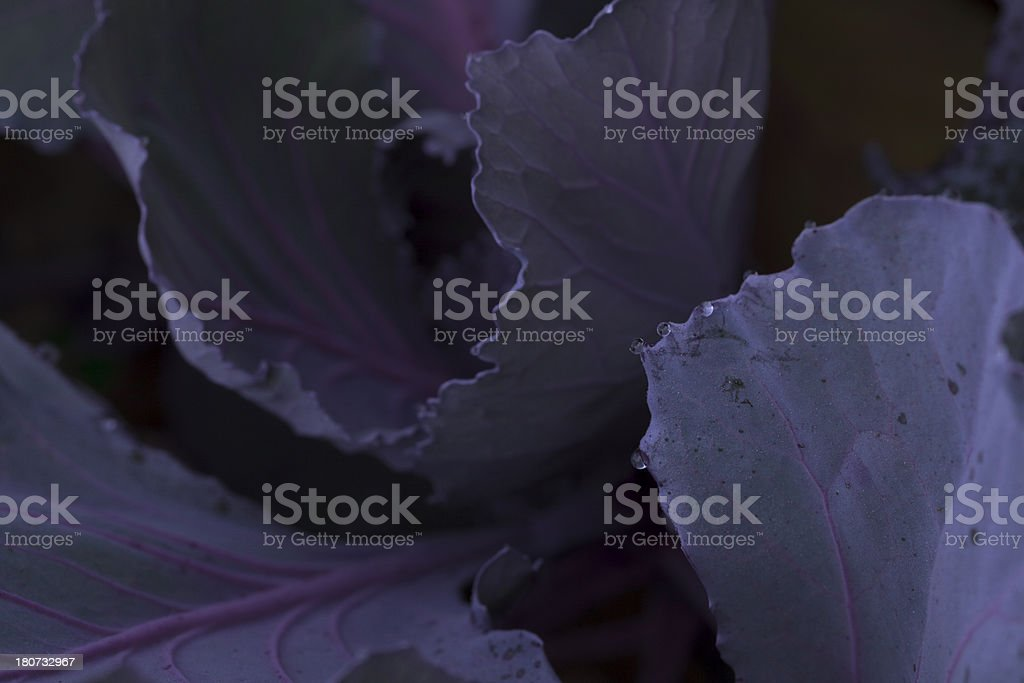 Dew Drop Forming on Fringes of Cabbage Leafs royalty-free stock photo