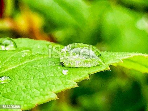 istock Dew Drop of Leaves 831529388