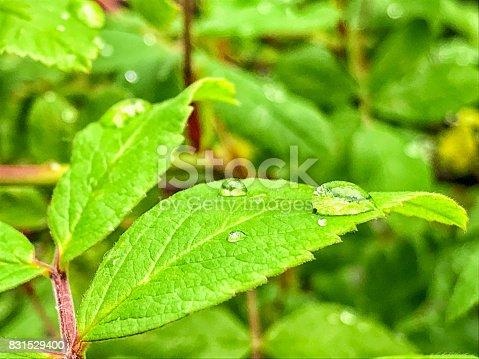 istock Dew Drop of Leaves 831529400