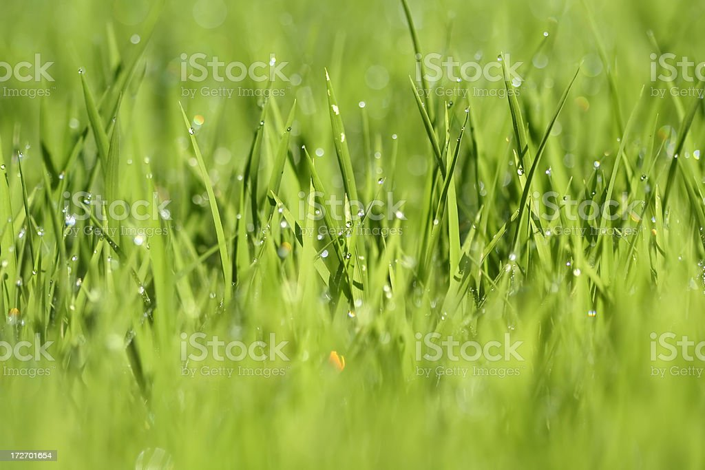 Dew drop on green paddy royalty-free stock photo
