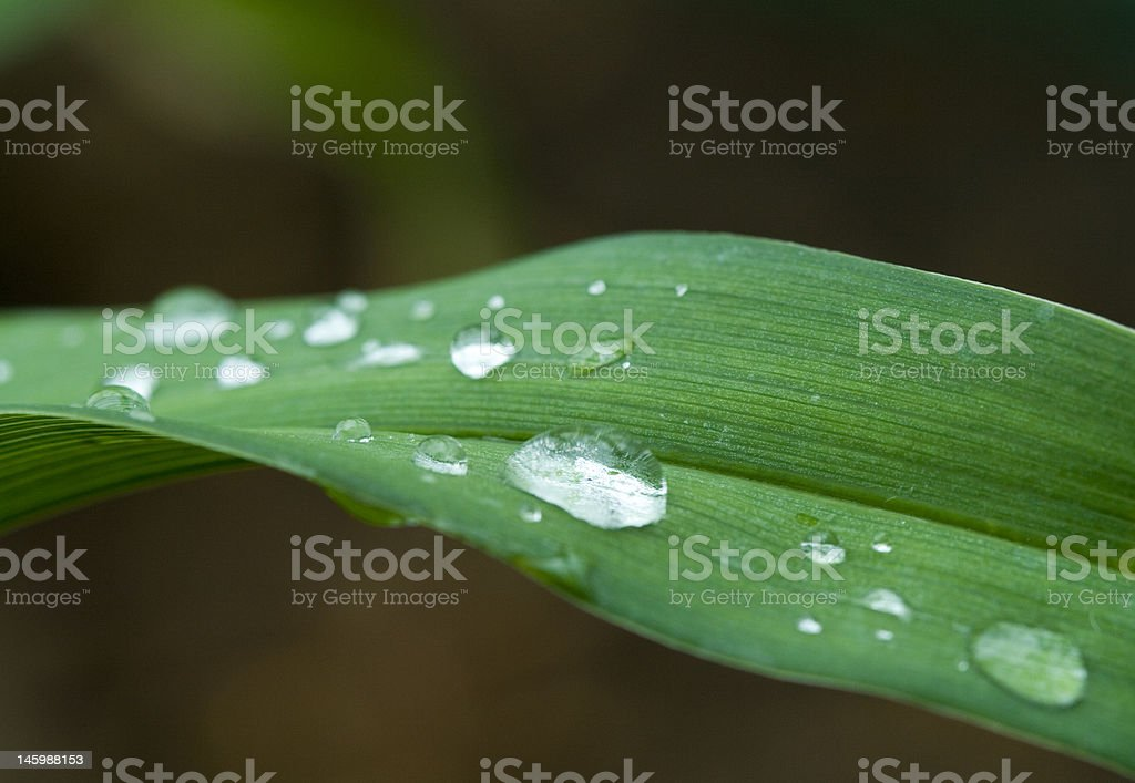 Dew droplets on long green leaf royalty-free stock photo