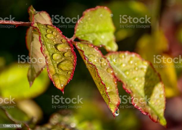 Photo of Dew Drops & Cobwebs on Autumnal Roses in an English Garden