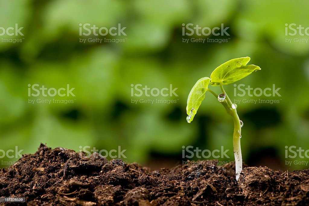 Dew drops on a new plant emerging from the soil stock photo