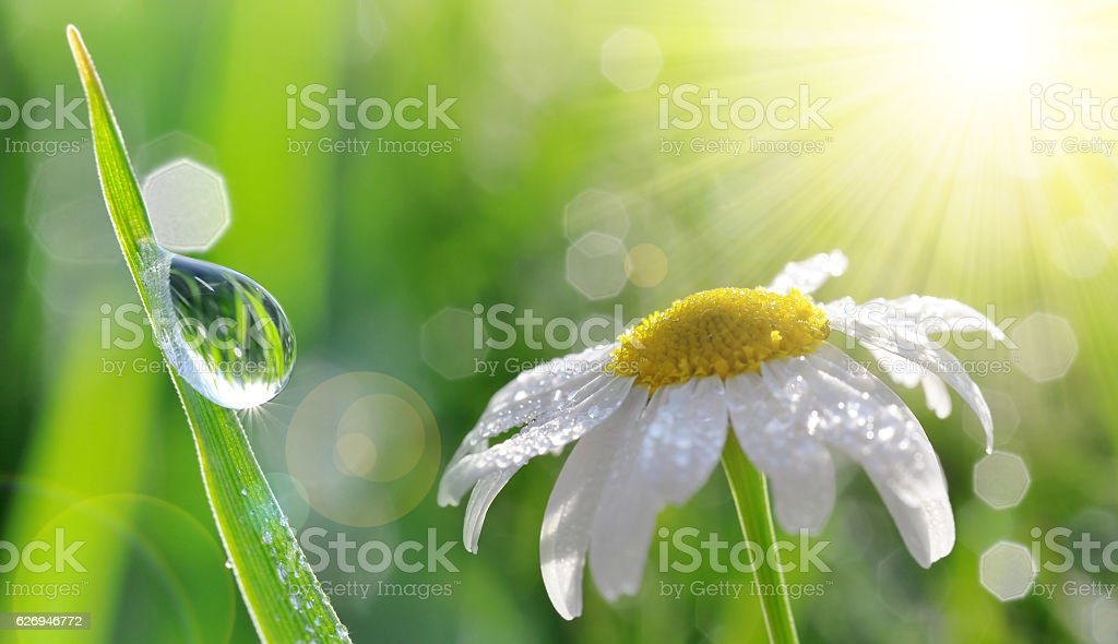 Dew drops on fresh green grass and daisy closeup. stock photo