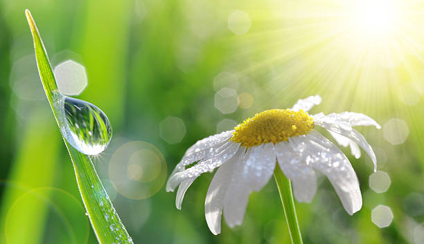 dew drops on fresh green grass and daisy closeup. - regen zon stockfoto's en -beelden