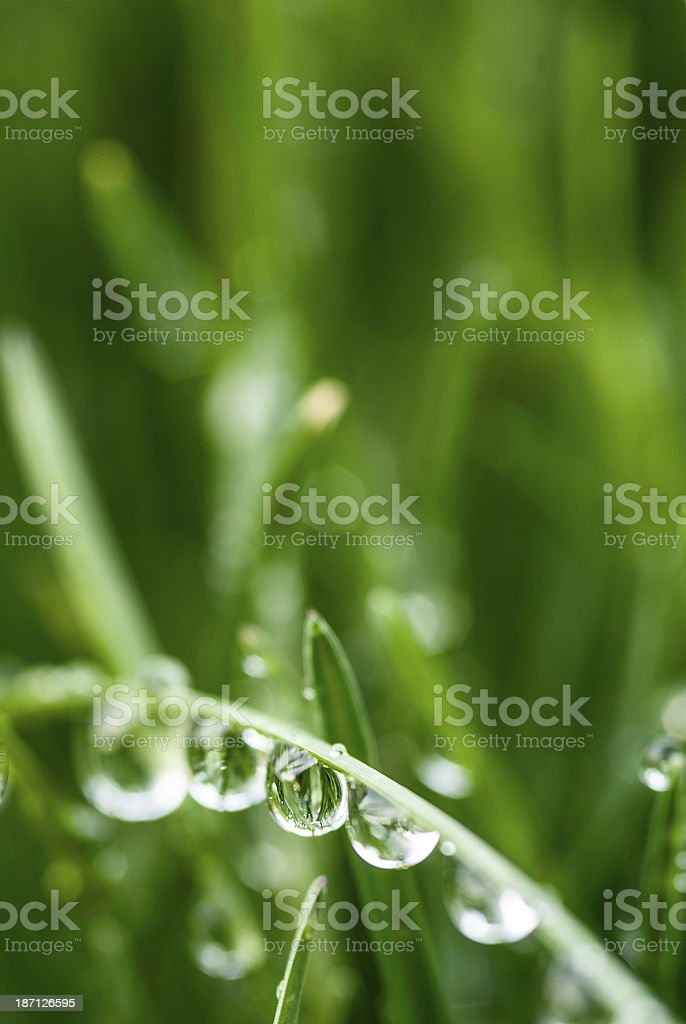 Dew drops on grass blade royalty-free stock photo