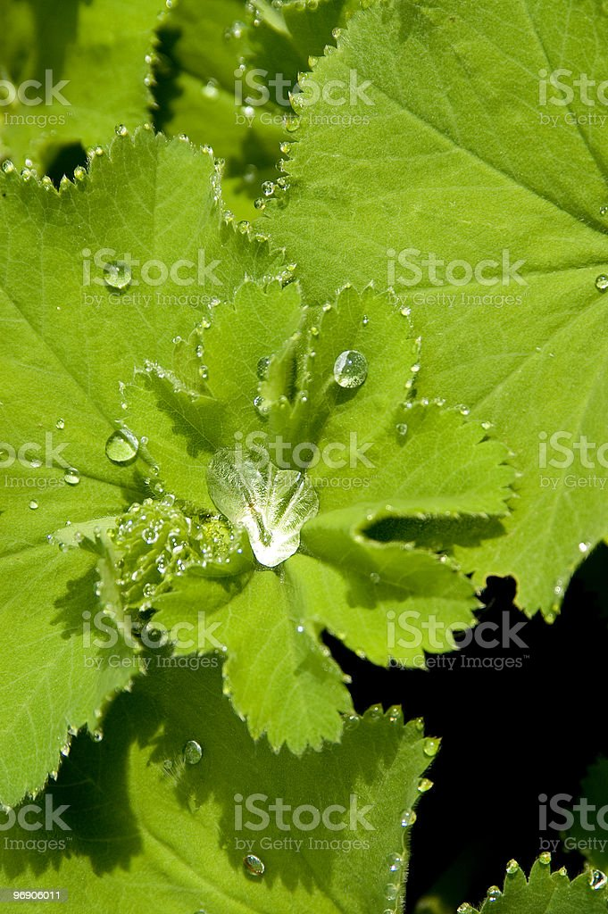 Dew Drops on Lady's mantle royalty-free stock photo