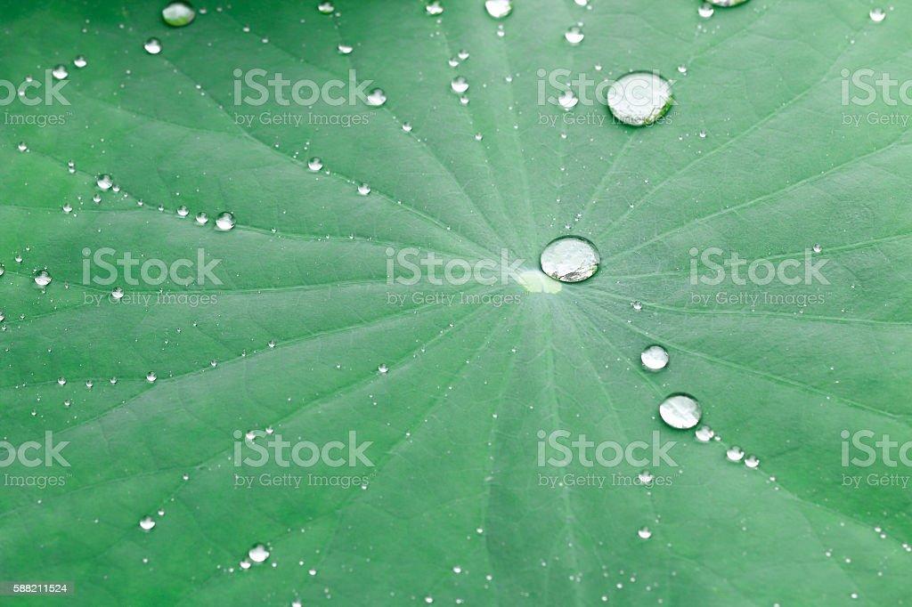 dew drops on lotus leaf stock photo