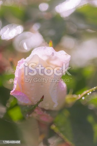 Dew drops on pink rose bud