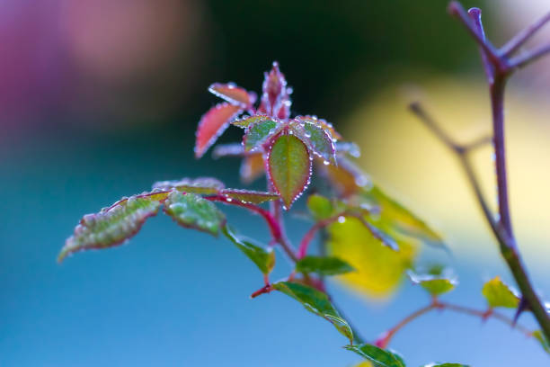 Dew drops on pink rose bush stock photo