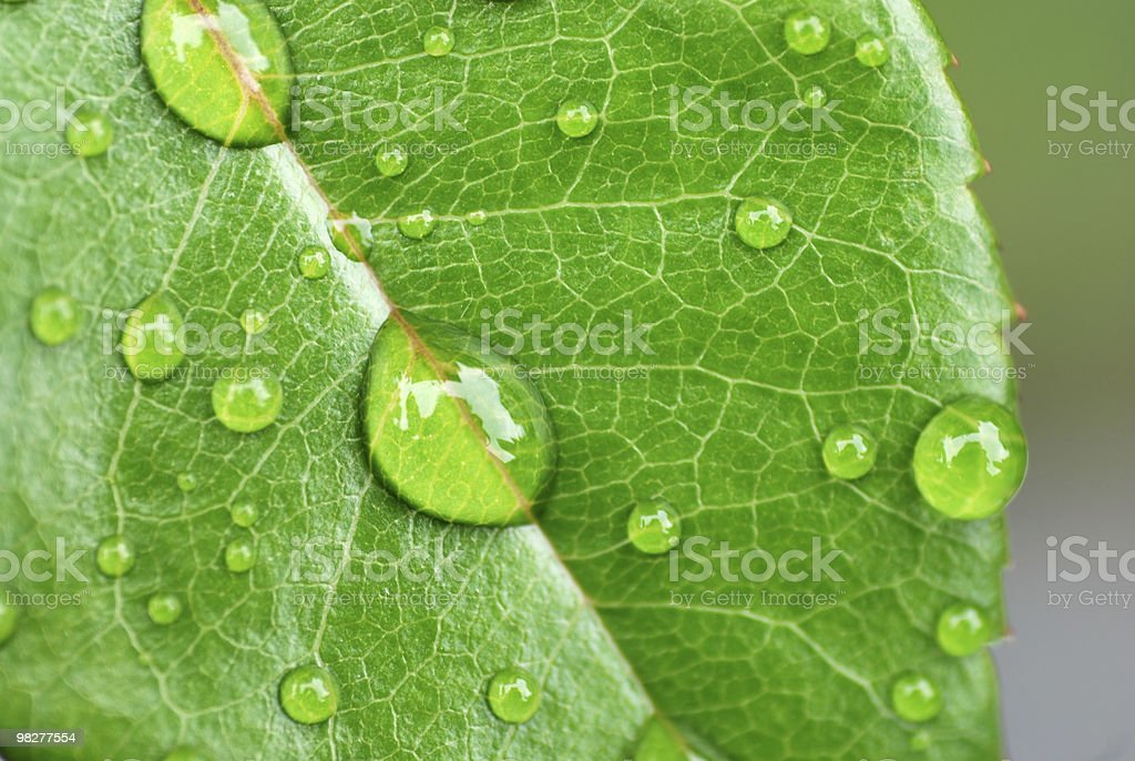 dew drops on rose leaf royalty-free stock photo