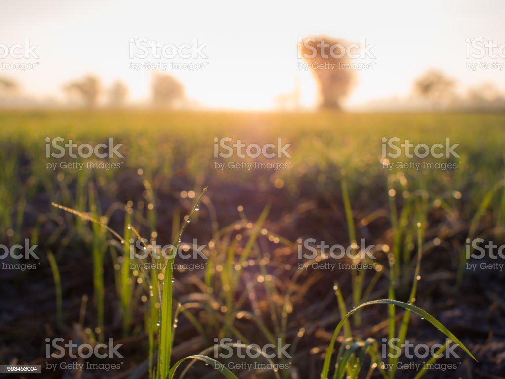 Krople rosy siedzące na ryżu - Zbiór zdjęć royalty-free (Azja)