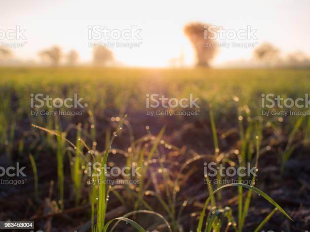 Krople Rosy Siedzące Na Ryżu - zdjęcia stockowe i więcej obrazów Azja