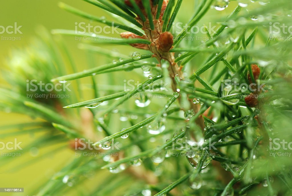Dew on branches royalty-free stock photo