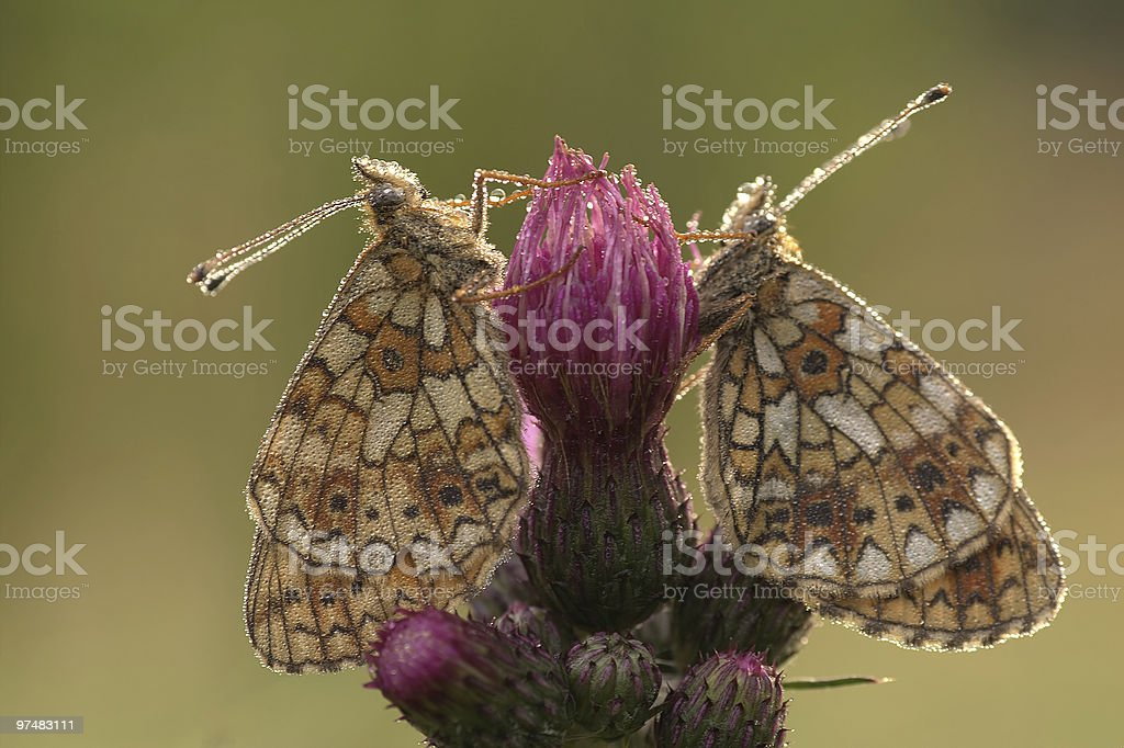 dew on butterflies royalty-free stock photo