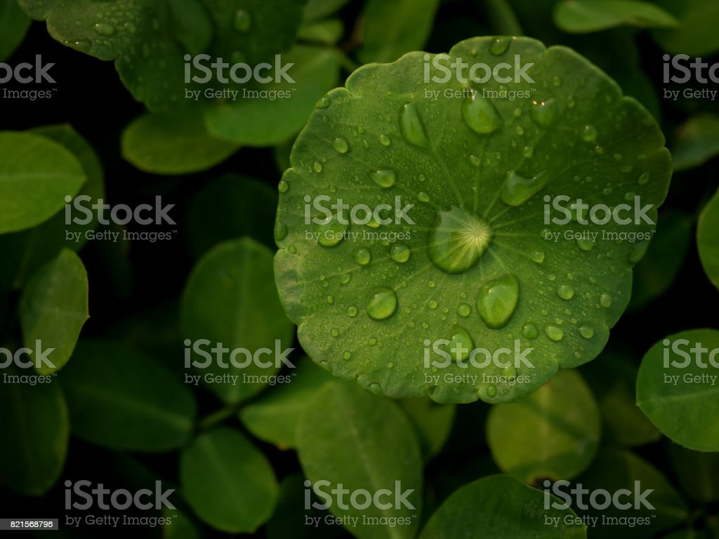 Dew on Centella asiatica after the rain stock photo