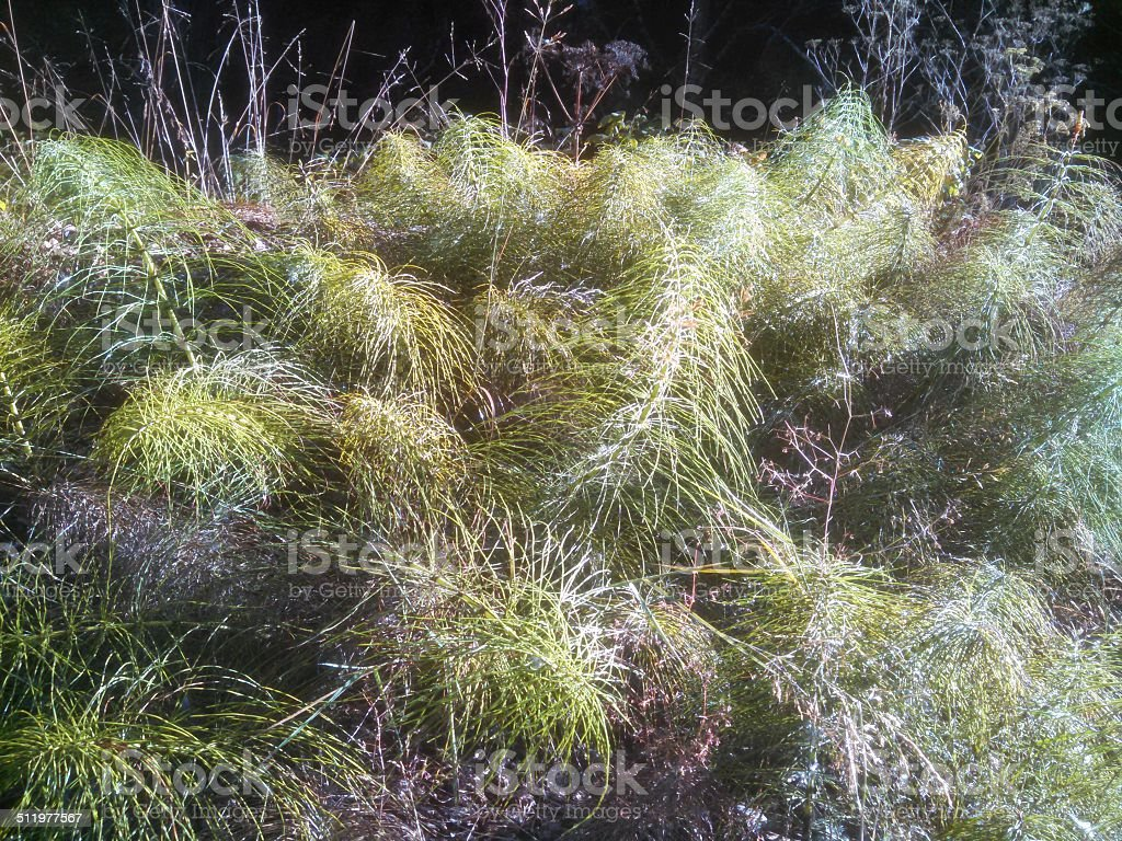 Dew on Ferns and Sedges below Evergreen Forest Albion California stock photo