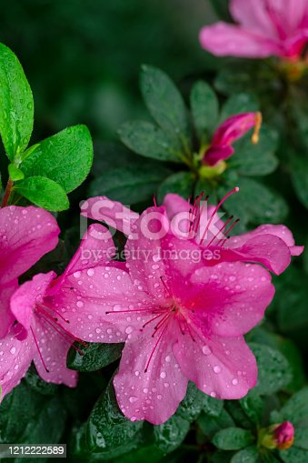 Blurred floral background. Azalea flowers have bloomed. Azaleas tropical flower. Shallow depth of field. Dew on flowers after rain.