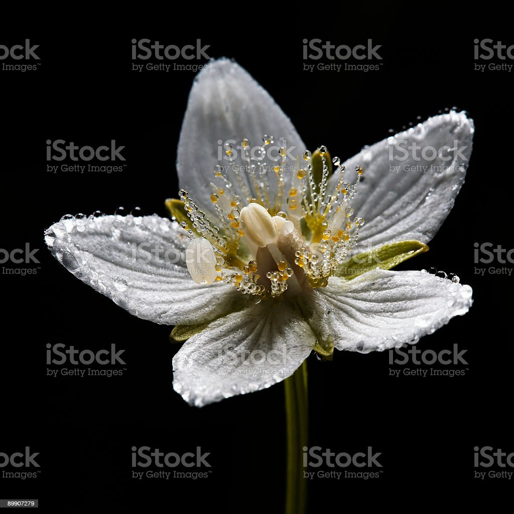 Dew on grass-of-Parnassus flower royalty-free stock photo