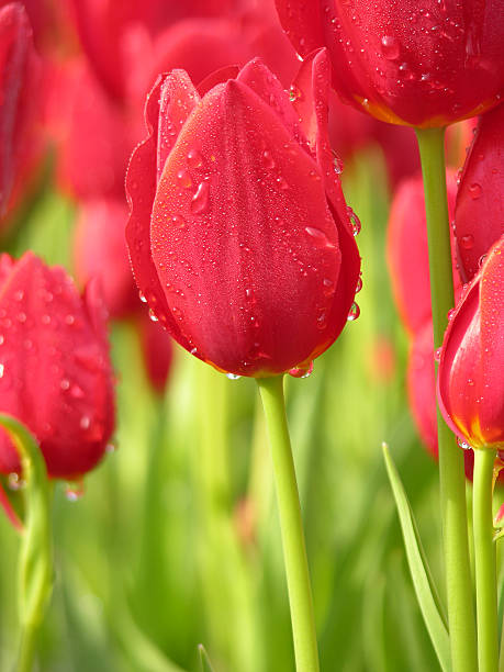 dew on red tulip - spring stock photos and pictures