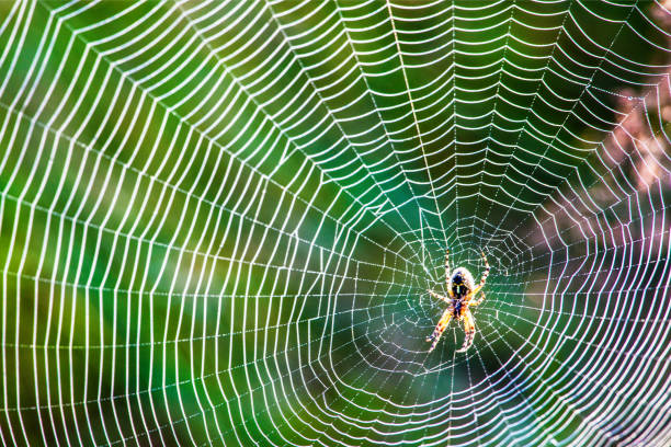 dew on spider web - spider web stock photos and pictures