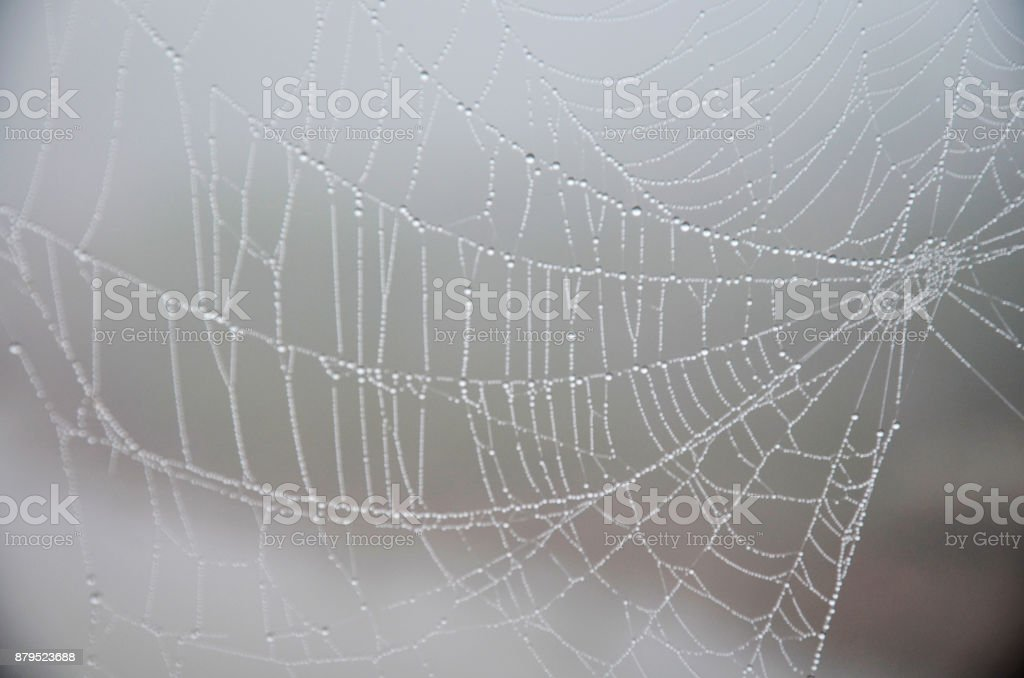 Dew on spider web with lighting of sun at outdoor in morning time stock photo