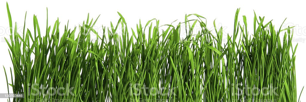 Dew on spring grass royalty-free stock photo