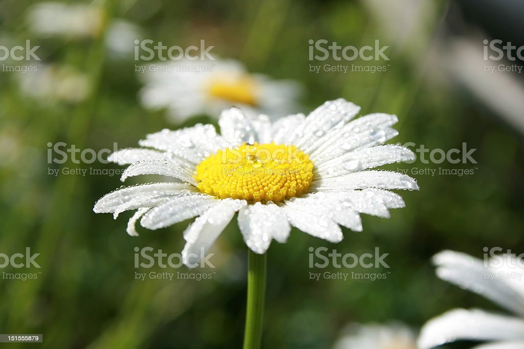 Dew on the camomile royalty-free stock photo