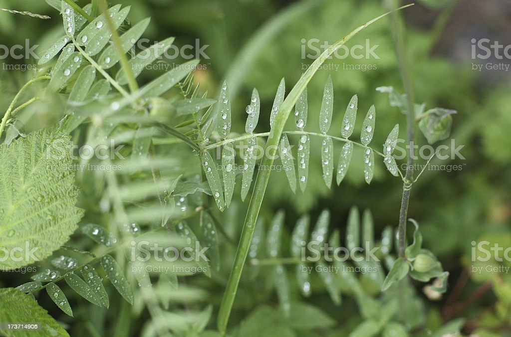 Dew on the grass in early morning royalty-free stock photo