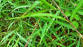 Dew on the grass in the morning