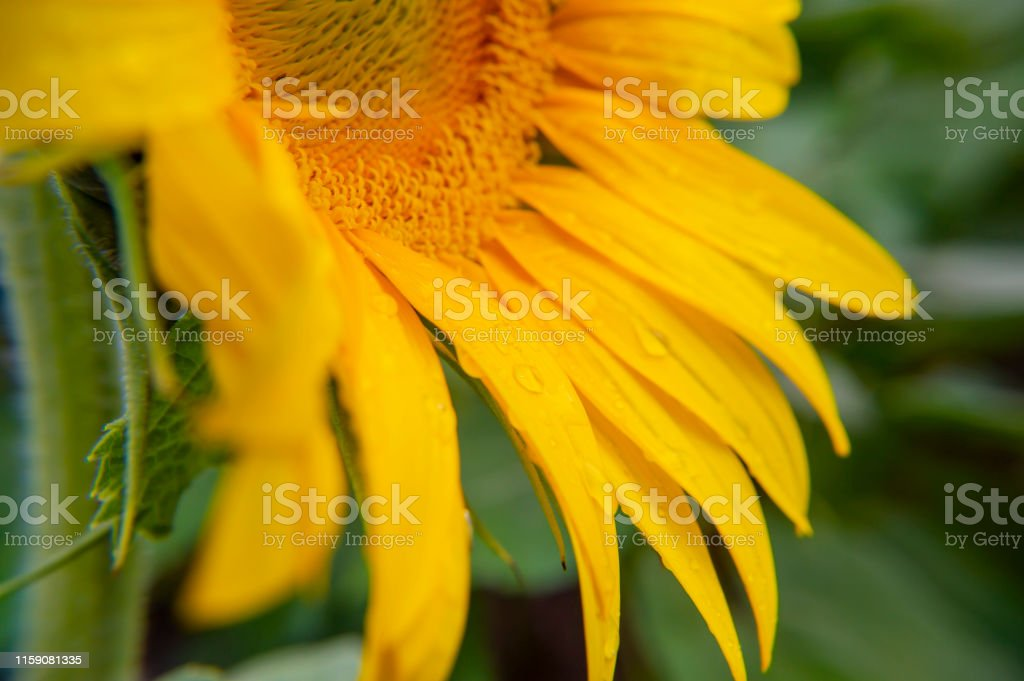 Dew on the petals of a flower sunflower. Macro photo.