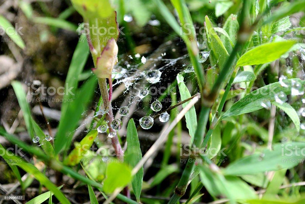Dew on web stock photo