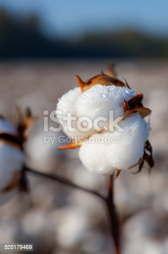 istock Dew Soaked Cotton Boll in a Cotton Field 525179469