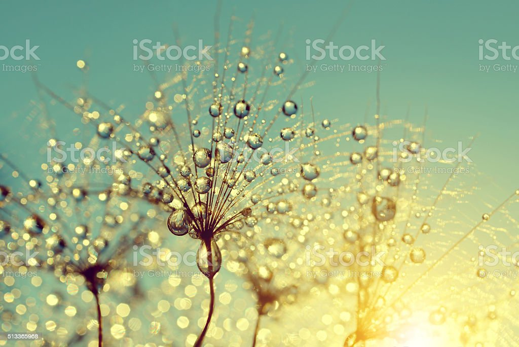 Dewdrops on a flower dandelion at sunset stock photo