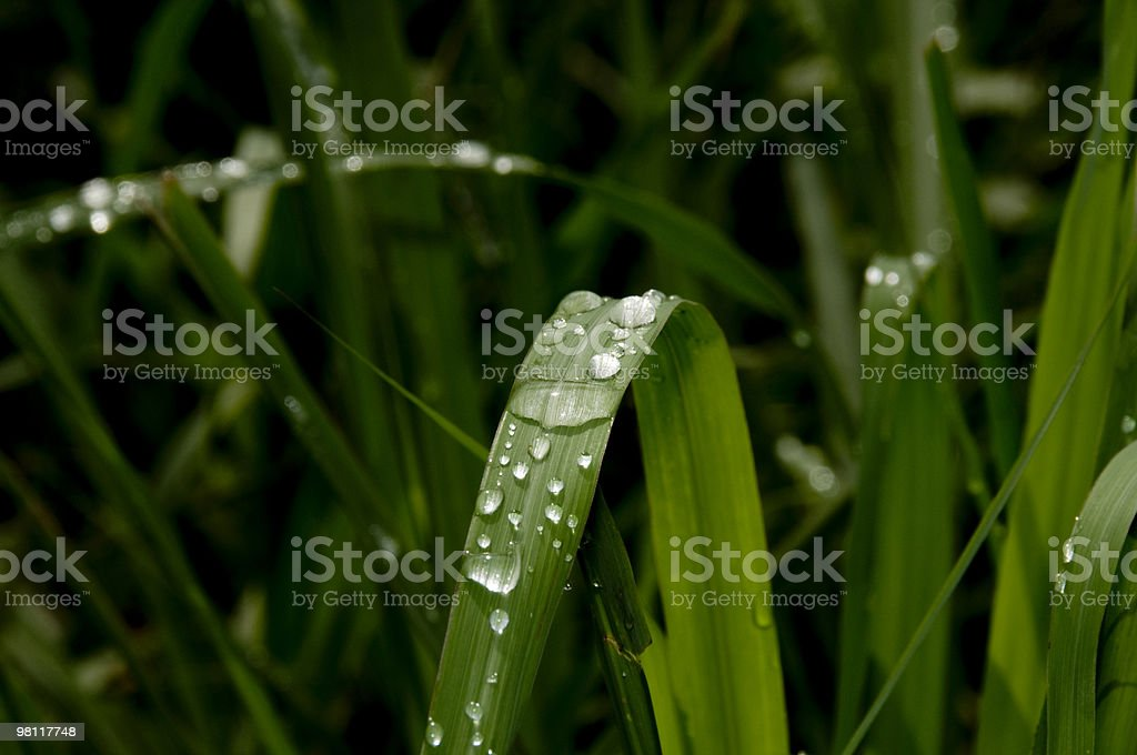 Dewdrops on grass. royalty-free stock photo