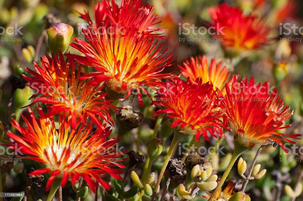 dewflowers  Drosanthemum micans royalty-free stock photo