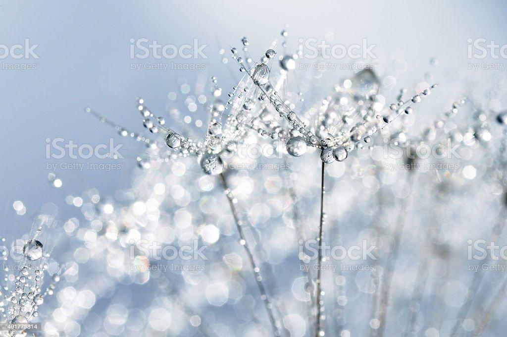Dewy dandelion stock photo