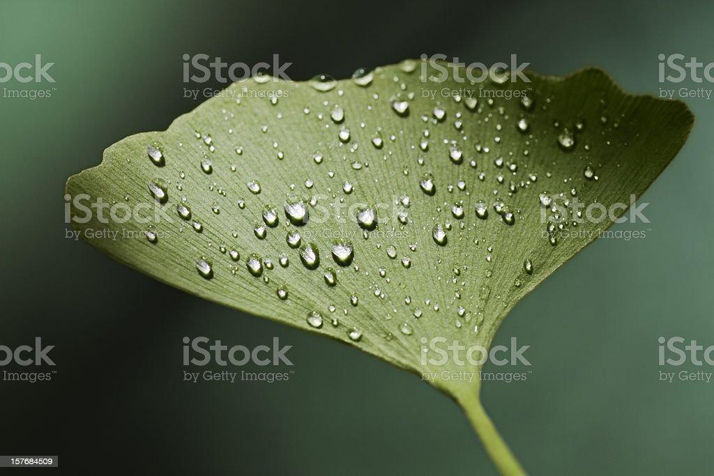 dewy ginkgo leaf royalty-free stock photo