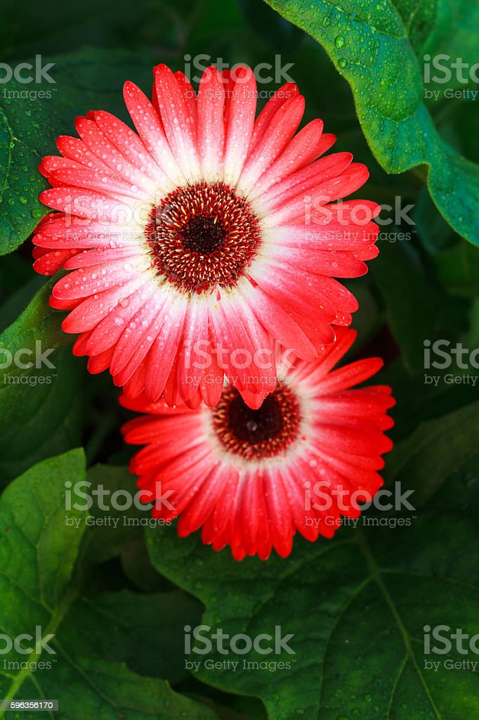 Dewy pink flowers royalty-free stock photo