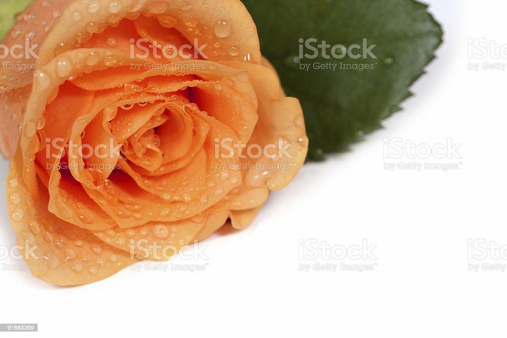 dewy rose stock photo