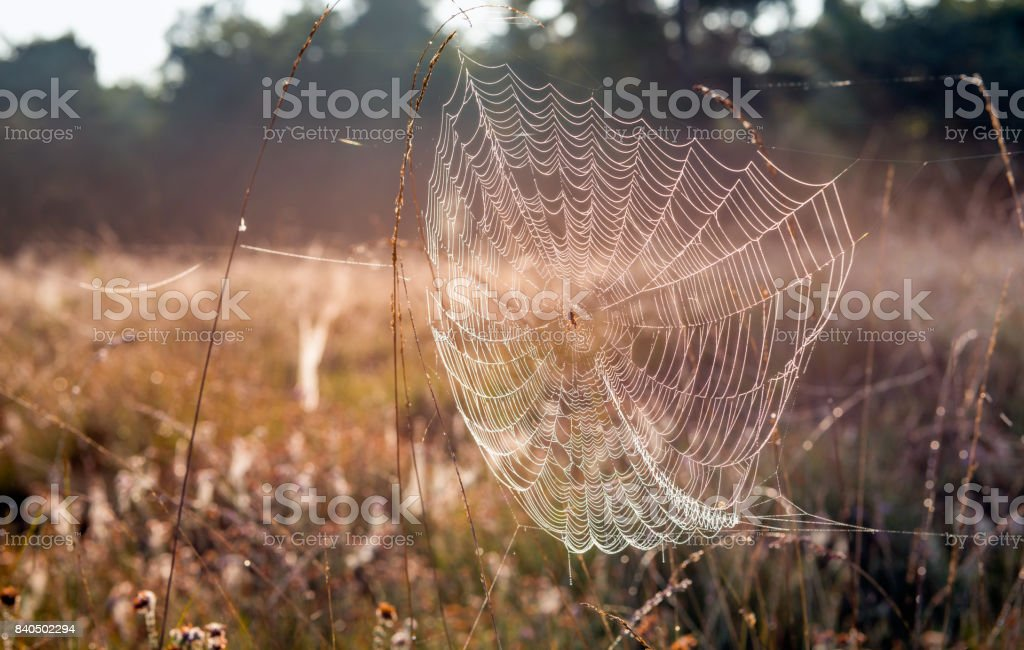 Dewy spider web between stems of grasses stock photo