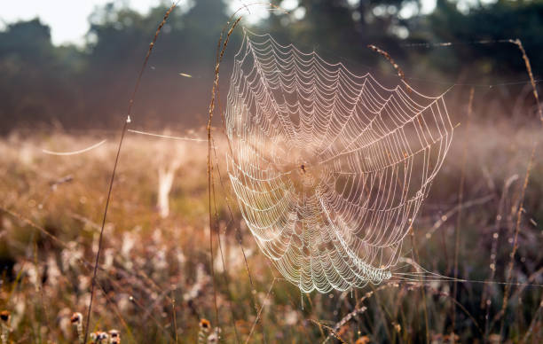 dewy spider web between stems of grasses - spider web stock photos and pictures